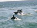 dolphin9a