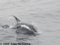 Dolphins1a
